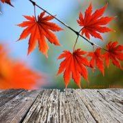 Ein bunter Traum im Garten: Der japanische Ahorn